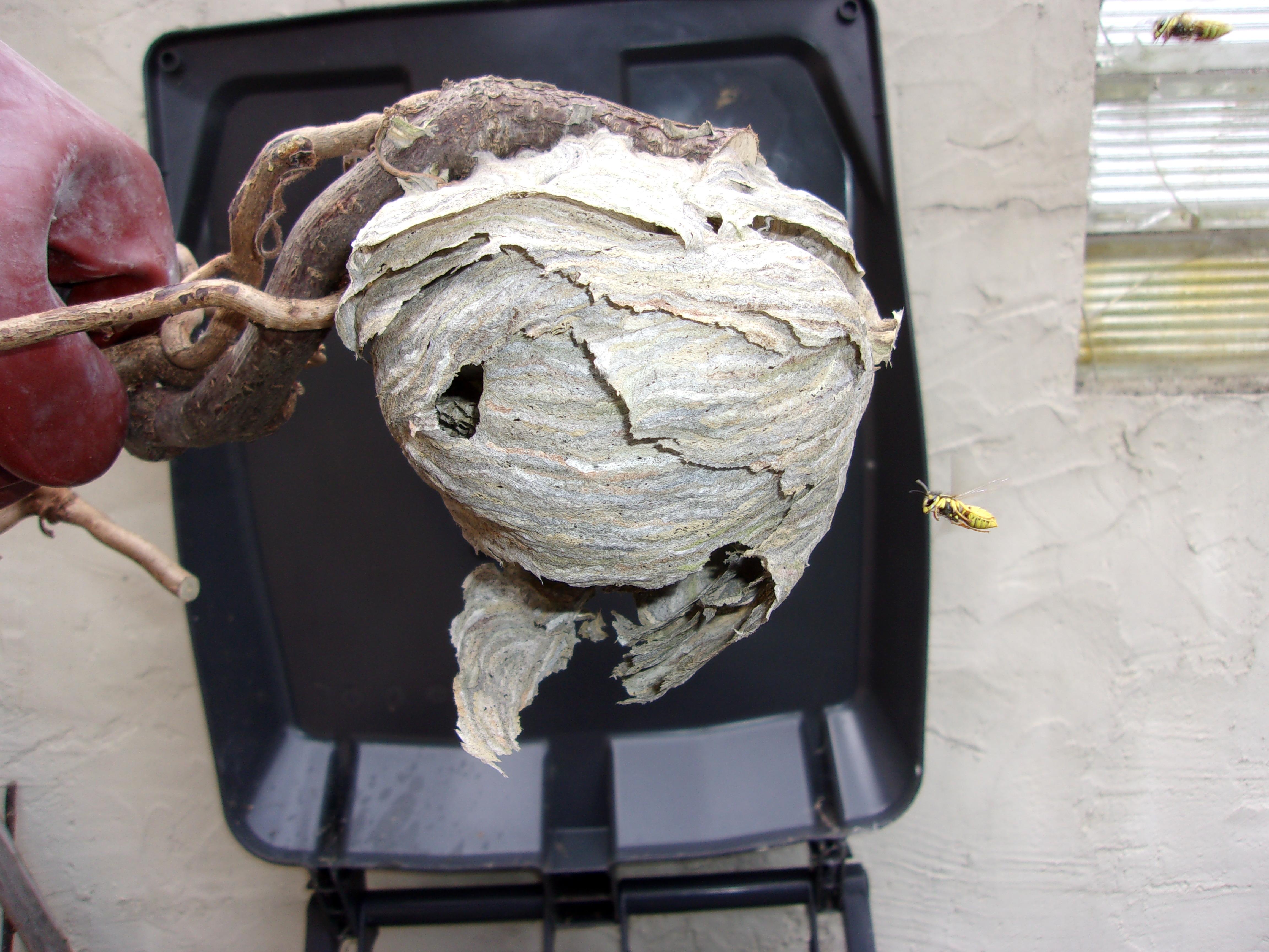 comment tuer des guepes beautiful dtruire un nid de gupes. Black Bedroom Furniture Sets. Home Design Ideas