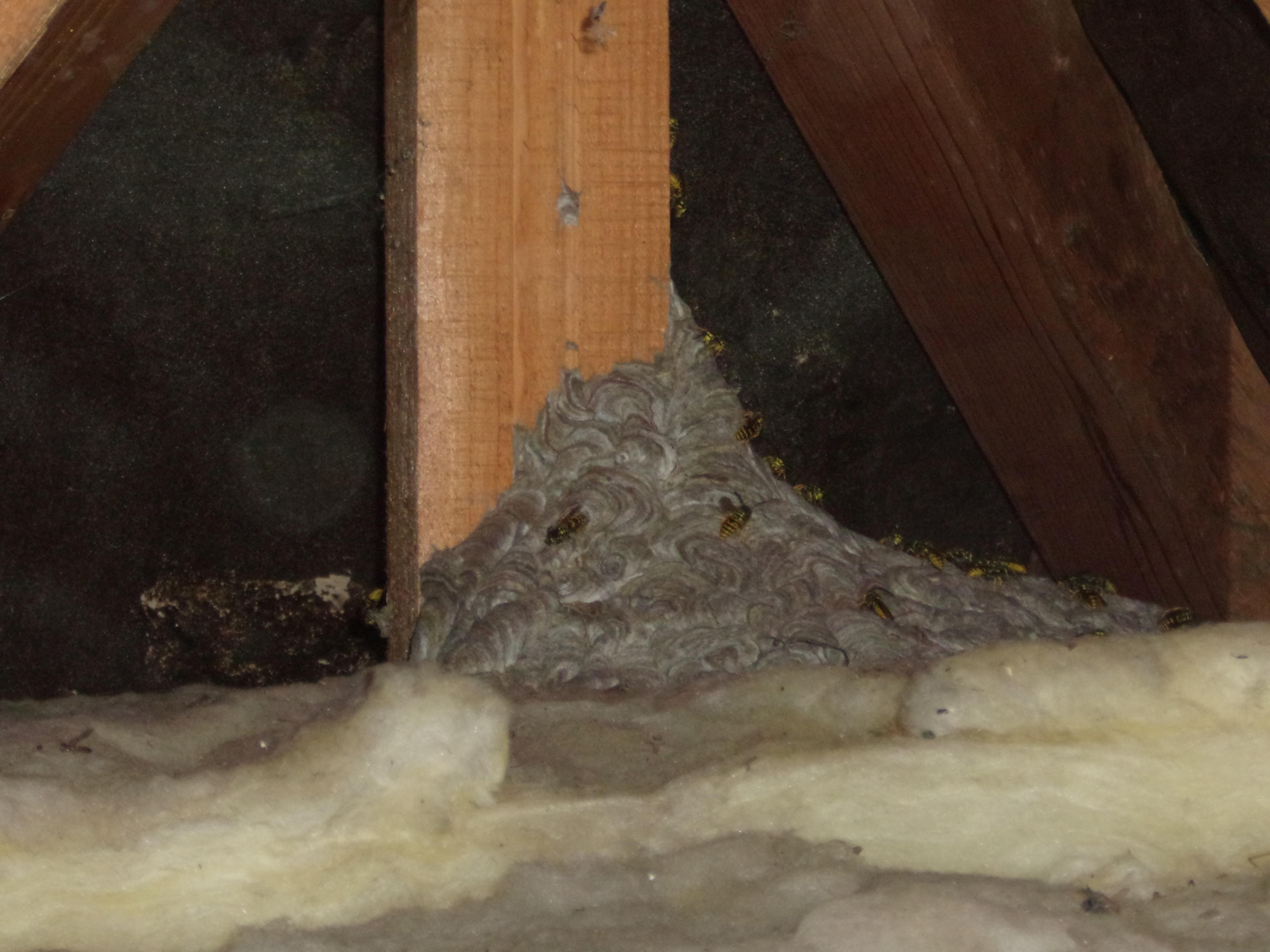 destruction nids de gu pes et frelons calvados urgence gu pes. Black Bedroom Furniture Sets. Home Design Ideas